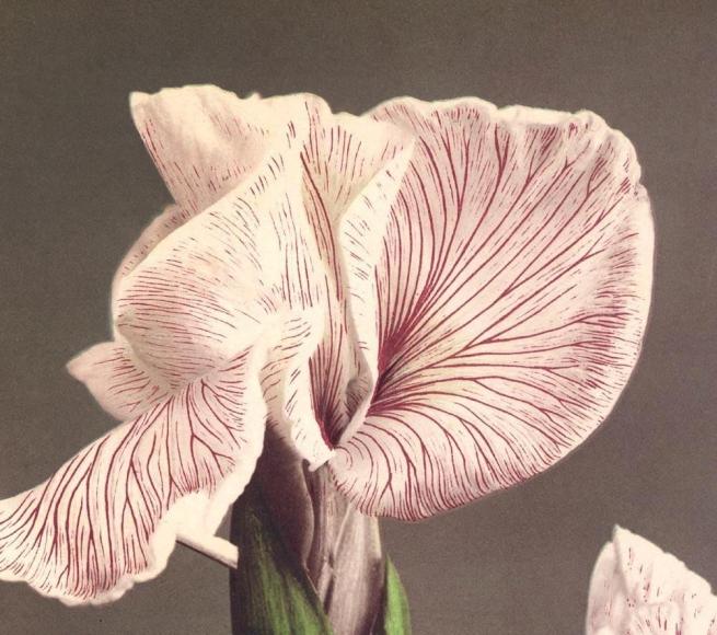 Ogawa Kazumasa (Japanese, 1860-1929) 'Iris Kaempferi' c. 1894