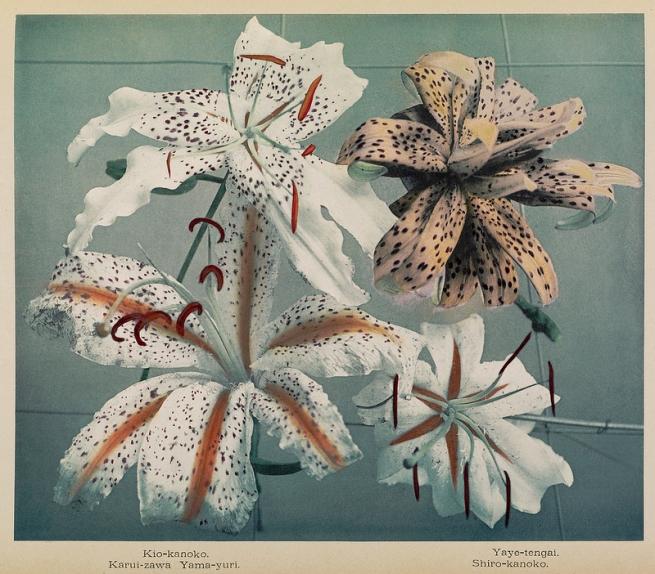 Ogawa Kazumasa (Japanese, 1860-1929) 'Japanese Lilies' c. 1894