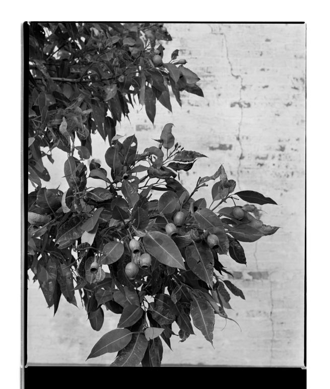 Marcus Bunyan (Australian, b. 1958) 'Gumnuts' 1994-96