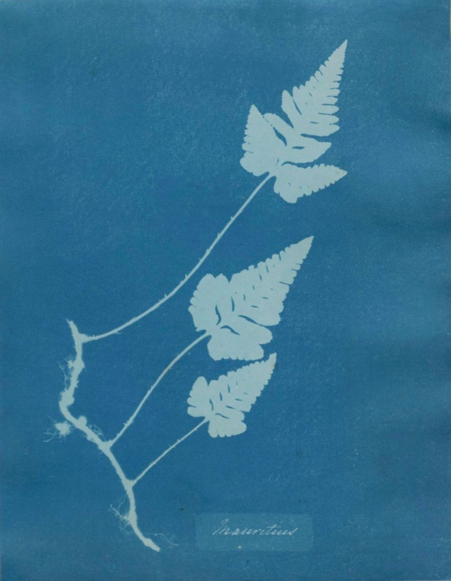 Anna Atkins (British, 1799-1871) 'Mauritius, from Cyanotypes of British and Foreign Flowering Plants and Fern' 1851-1854