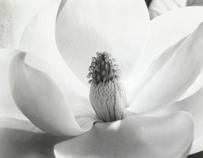 Imogen Cunningham (American, 1883-1976) 'Magnolia Blossom' 1975