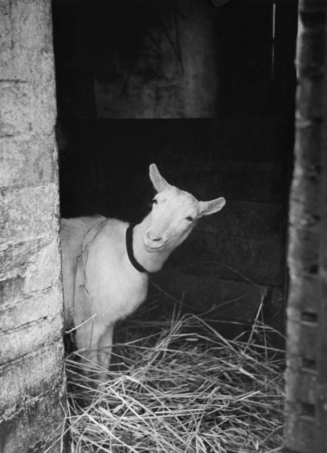 Friedrich Seidenstücker(1882-1966) 'Curious goat' 1920-30s