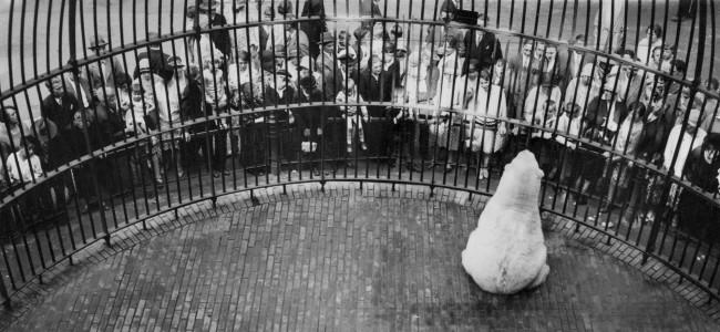 Friedrich Seidenstücker(1882-1966) 'Polar bear, Berlin Zoo' 1929