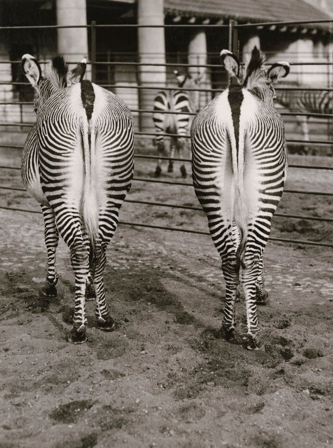 Friedrich Seidenstücker (German, 1882-1966) 'Zebras' 1920-30s