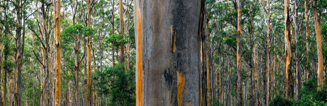William Yang (Australia b. 1943) 'Boranup Karri Forest #1' 2018