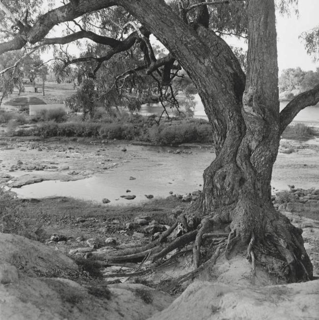 Mervyn Bishop (Australian, b. 1945) 'The Murai tree at the Rocks, Brewarrina, New South Wales' 1969, reproduction 2014