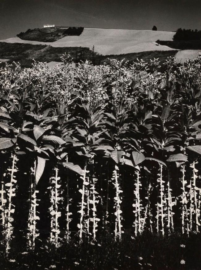 Mario Giacomelli (Italian, 1925-2000) 'Landscape: Tobacco' 1955-56, printed 1980